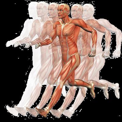 Homo sapiens muscle human body motion anatomy hand 8a05ce51debc30954afbf30fb522e490